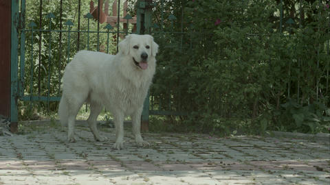 Big white dog breathe heavily in the garden Footage