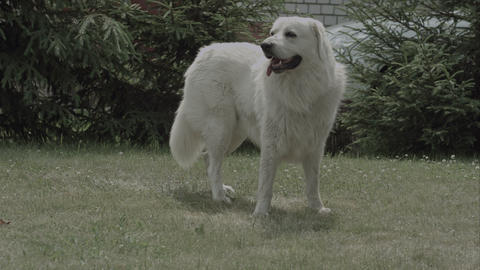 Big White Dog On The Grass In The Garden Hot Summer Sunny Day stock footage