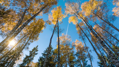 Autumn Birches And Fly In Sky Footage