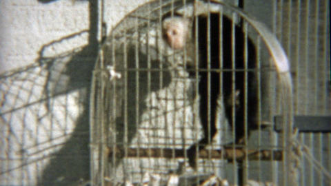 1959: Monkey pissed off trapped in cage yelling at humans around Footage