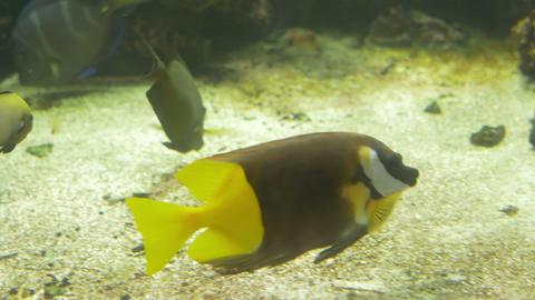 Rabbitfish in Aquarium Live Action