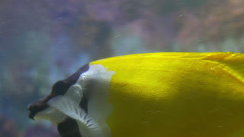 Rabbitfish in Water Footage