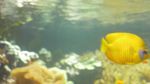 Yellow Tang in Aquarium Footage