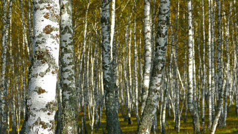 autumn birch forest Footage