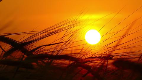 ears of ripe wheat against setting sun Footage