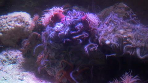 Sea Anemones Footage