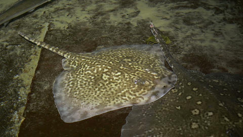 Stingray On Shallow Water stock footage
