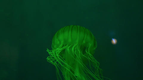 Japanese Sea Nettle Footage