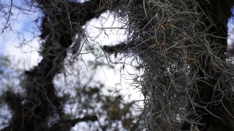 Spanish Moss Closeup Live Action
