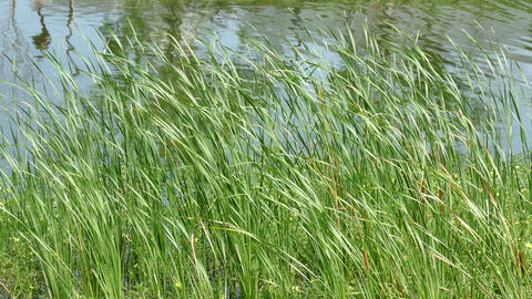 Green Grass On The Lake Shore 2 stock footage