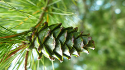Close up Of Pine Cone And Needles Live Action