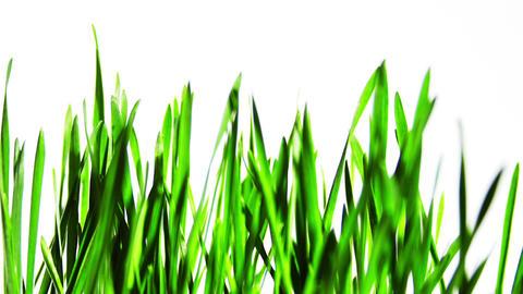 Wheat plants growing Footage