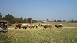 Sheep And Goat Farm Close Up, Flock In Different Species And Color stock footage