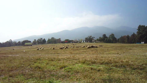 Sheep and goat farm close up, flock in different species and color Footage