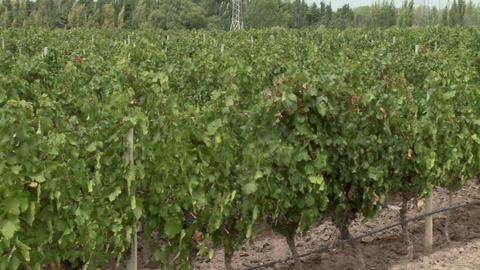 Vineyard Stock Video Footage