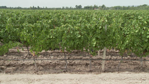 People walking through vineyard, looking at plants Stock Video Footage