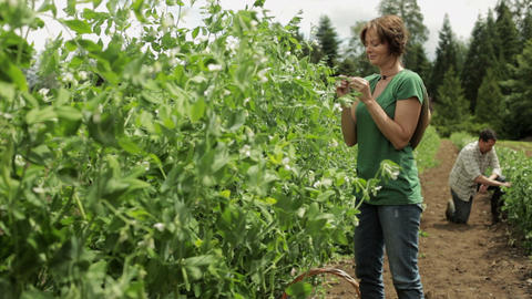 Couple in field on farm, woman in foreground smelling a leaf Stock Video Footage