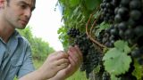 Man Inspecting Black Grapes On The Vine In Vineyard stock footage