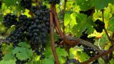 Black Grapes On The Vine In Vineyard stock footage