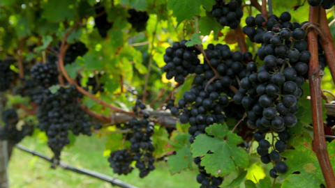 Black grapes on the vine in vineyard Stock Video Footage