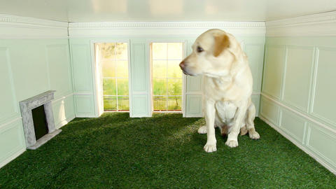 Giant labrador in a tiny room Stock Video Footage