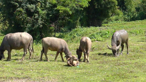 Group of water buffalo in rural farm of thailand Southeast asia Footage