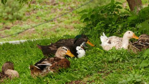 Multiple Ducks Sitting On The Grass stock footage