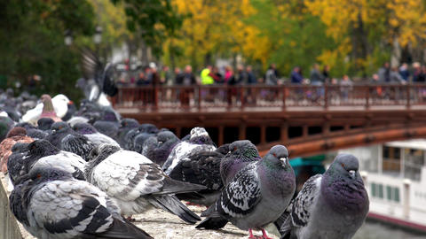 Pigeons on the River Seine in Paris. 4K Footage
