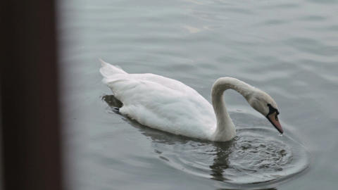 White swan swimming in lake Footage