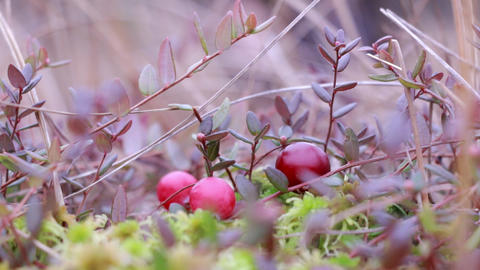 Berry picker picking cranberries at a bog Footage