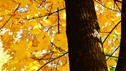 Rotating tree, sunny autumn, golden leaves, lens flare Footage