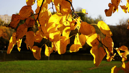 Golden leaves on a branch in the autumn wind and sun Footage