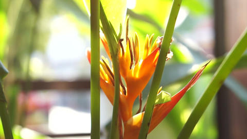 Close up of or bird of paradise flower with ant Footage