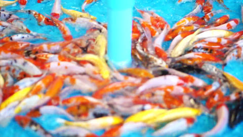 cleaning carp fish selling pit. Small koi in clean water at the market Footage