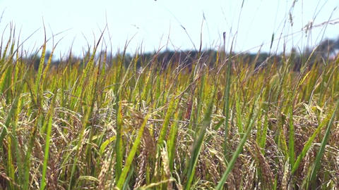 Close Up Of Rice In A Field In Vietnam stock footage