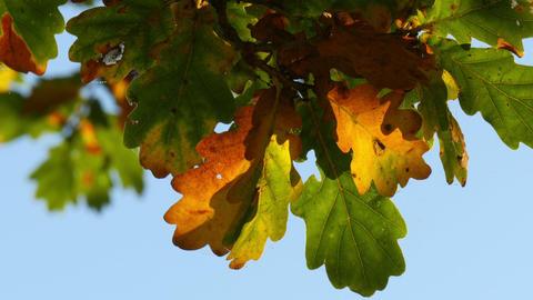 oak tree leaves in indian summer closeup Footage
