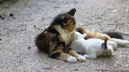 Street Kitten Suckling From Mother Stock Video Footage