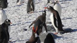 Gentoo penguins feeding Footage