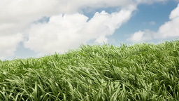 Sugar cane fields with wind in mauritius Footage