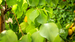Tree Peach Fruits Converted stock footage