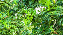 tropical tree with fruits Footage