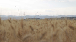 Wheat Field In South Of France stock footage