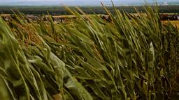 windy cornfield in german rural area 2 Footage