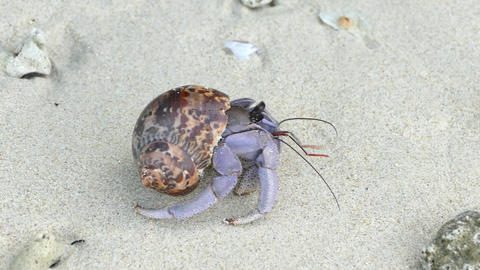 Hermit Crab (Paguroidea) hides in its shell for protection then emerges Footage