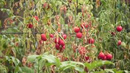 bush tomato in the rain Footage