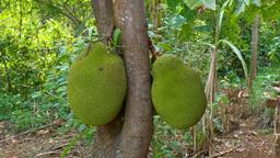 Jackfruit On The Tree, Plantation stock footage