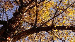 Autumn landscape, crown of tree with yellow leaves, rotating Footage