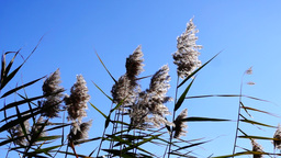 Isolated beautiful dry fluffy reed in the sun on wind moves Footage