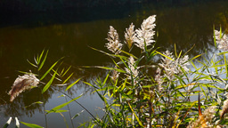 Lake landscape with reed,a strand of spider web and October sun Footage