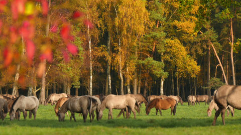 wild horses grazing in colorful autumn 4k 11741 Footage